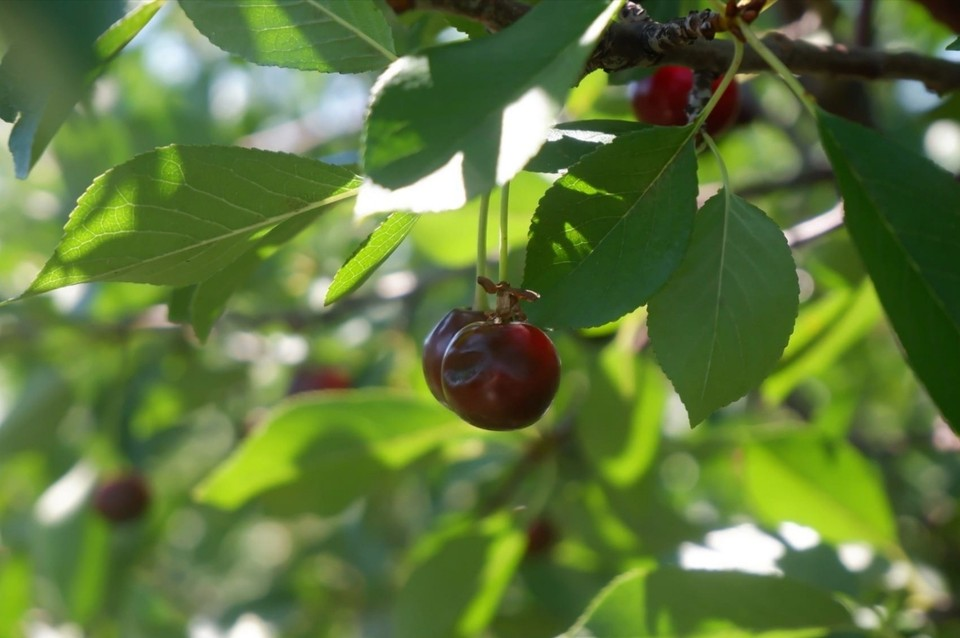 В Самарской области вывели новые сорта черешни