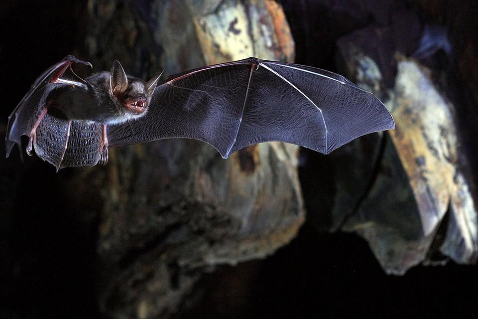 Израильские ученые нашли еще одно доказательство невиновности летучих мышей в массовом распространении ковида. Фото: ratatum.com.