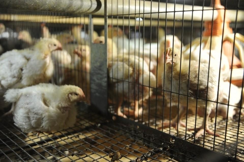 На птицефабрике задохнулись курицы.