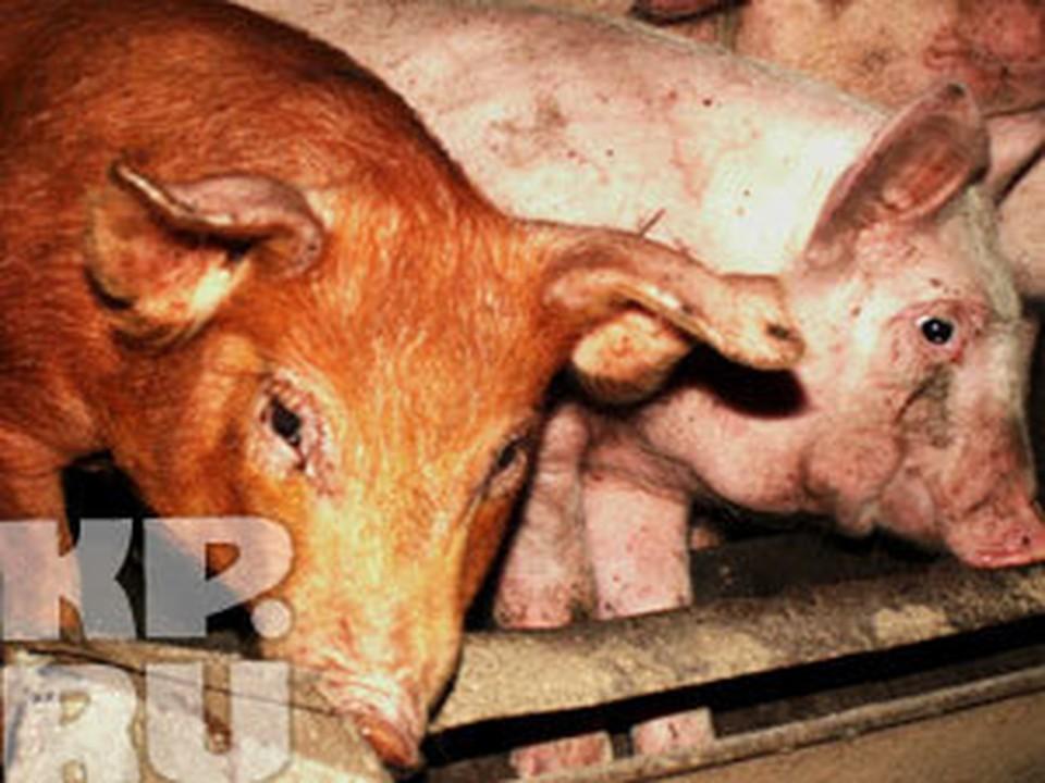 В Мурманской области зафиксирована вспышка африканской чумы свиней.