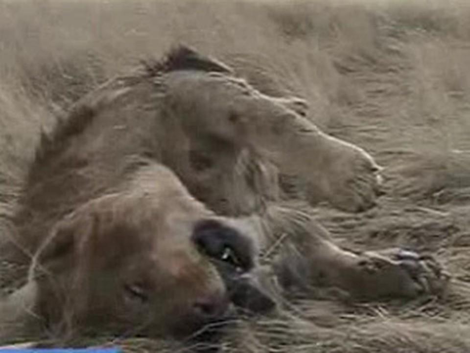 Животное пролежало в степи несколько дней.