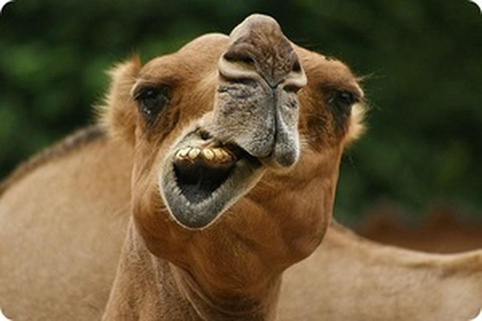 Сонник Верблюд к чему снится Верблюд во сне видеть