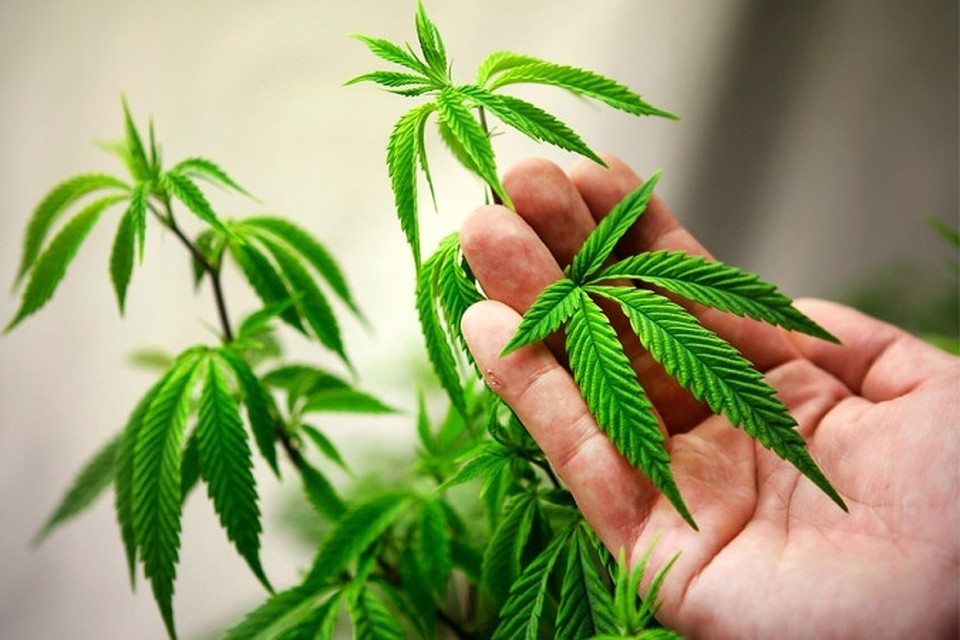 Выращивал марихуану вашингтон наркоман в конопле