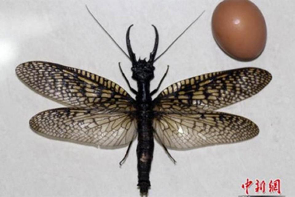Ученые обнаружили самое большое в мире летающее насекомое