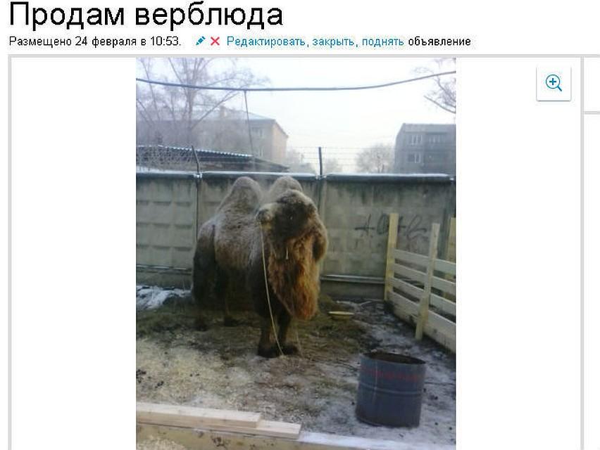 b3edfb6f5bdb6 Продам верблюда, возраст – 5 лет, хороший торг
