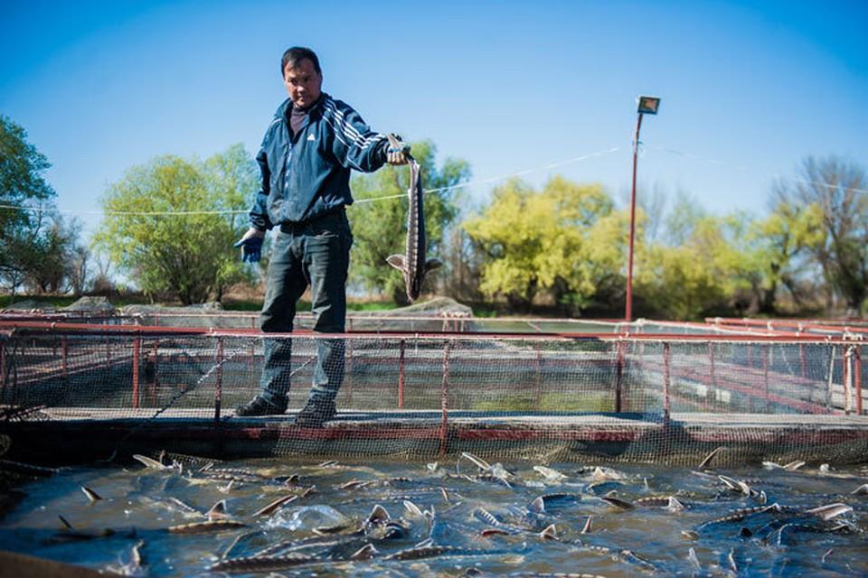 В Астраханской области 18 ферм выращивают осетровых рыб. Стерлядь (на фото) способна  давать икру на пятом году, белуга – на 17-м. Фото: Наталья ПОПОВА