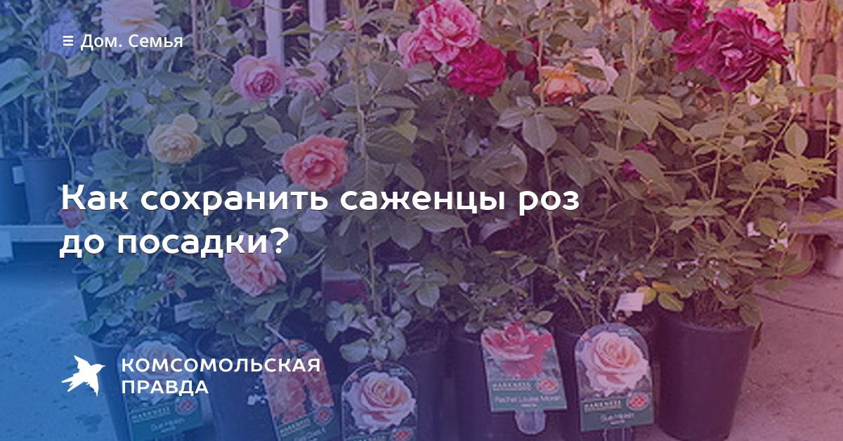 Как передержать розы до посадки