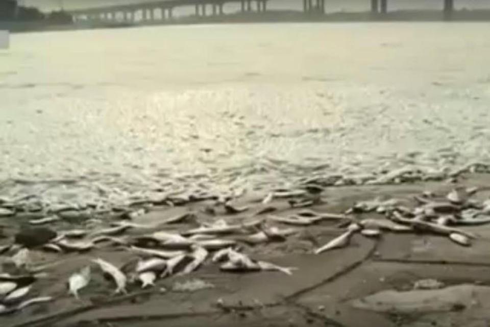 В Тяньцзине дохлую рыбу выбрасывает на берег