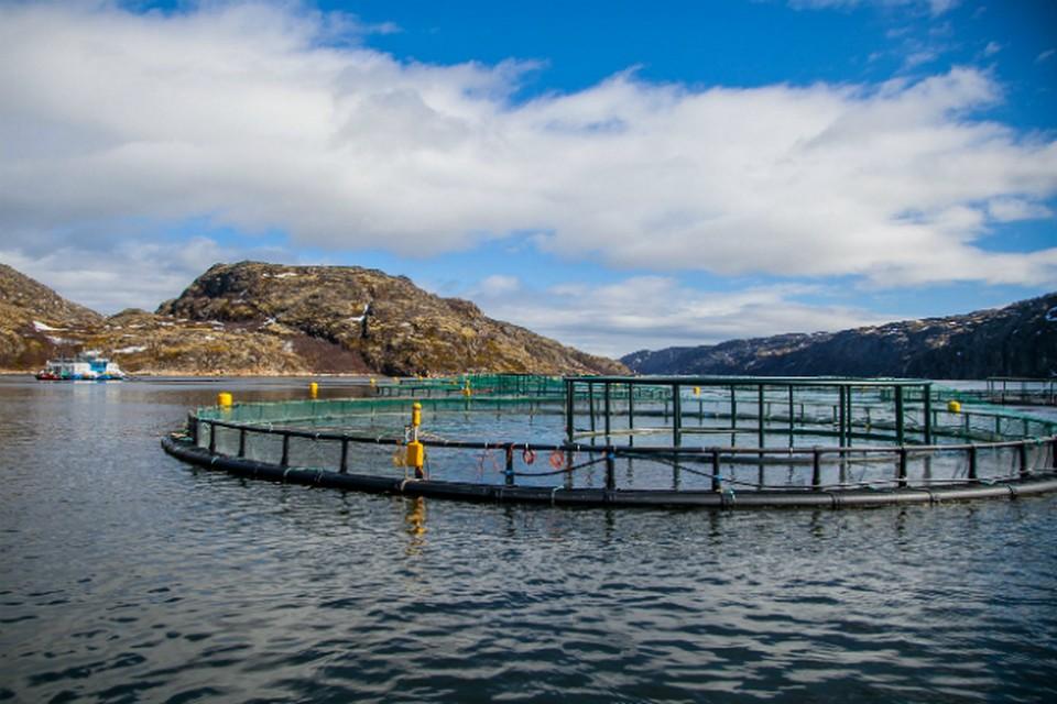 В садках слишком много лосося - отсюда его болезни и высокая смертность. фото: russaquaculture.ru.