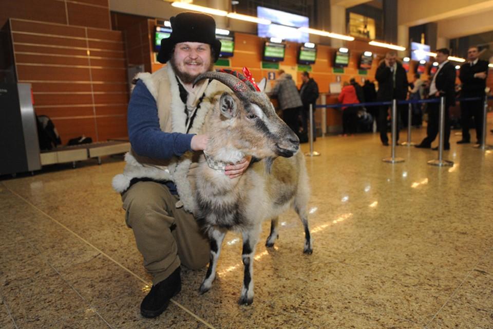 Коза Меркель и её хозяин фермер Олег Сирота в аэропорту Шереметьево