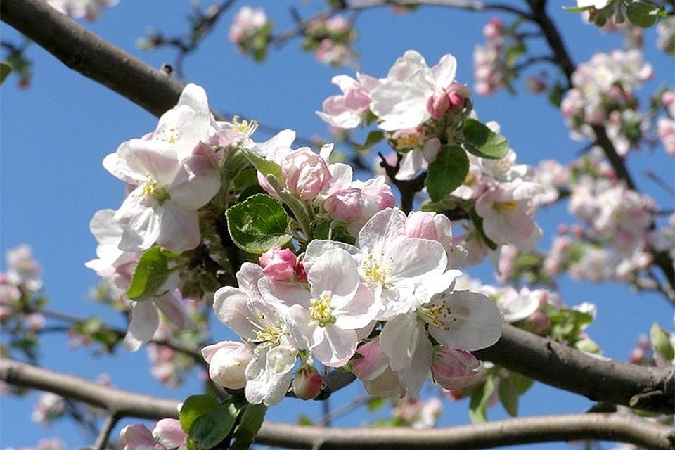 к чему цветет яблоня осенью приметы асаны характеризует