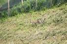 В Сочи выпустили на волю трех леопардов