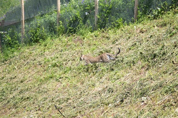 Леопардов выпустили в дикую природу