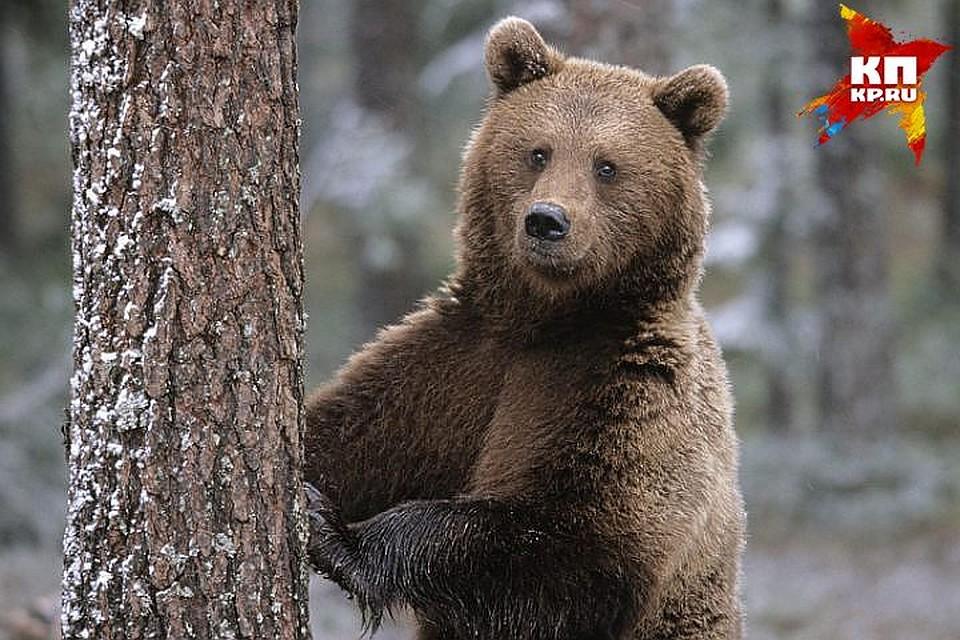 Секс между медведями