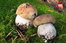 Где в Удмуртии собирать белые грибы, а где – маслята с рыжиками