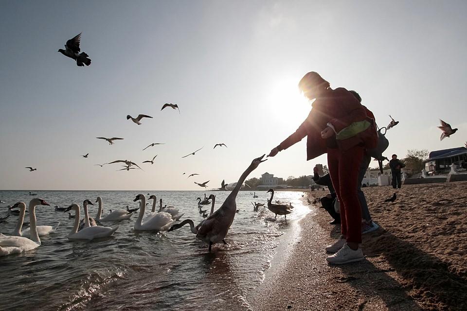 Жители Евпатории кормят лебедей на пляже