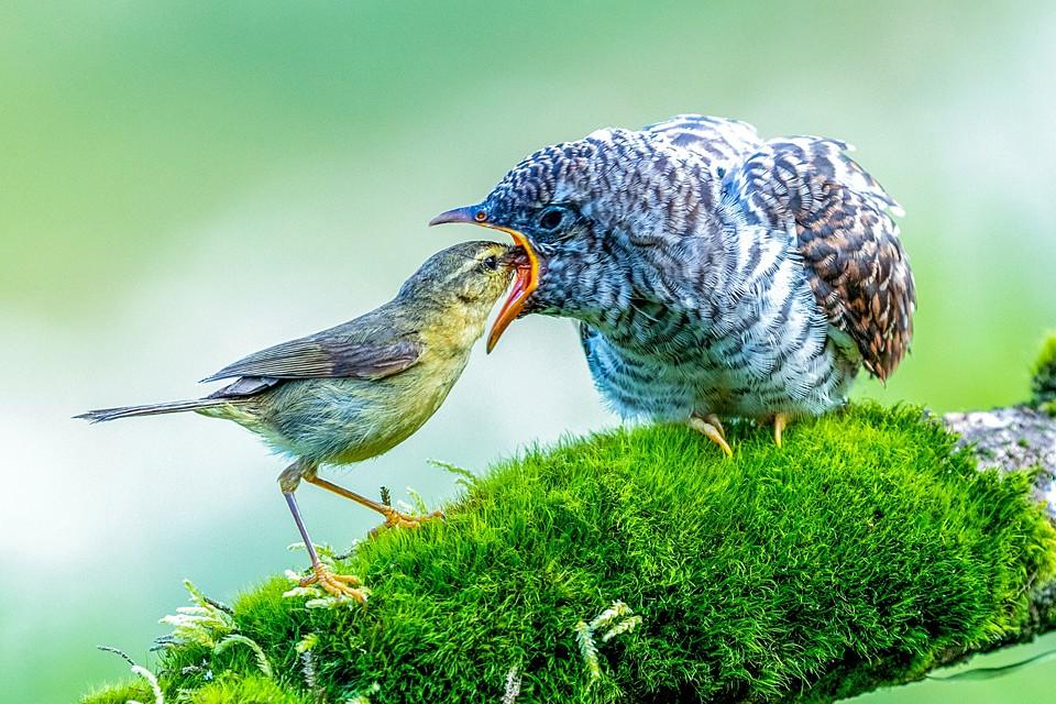 Желтобрюхая расписная пеночка кормит своего птенца в горах Далу в Китае