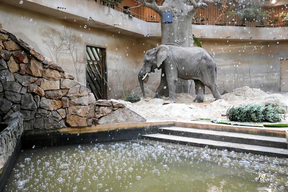 4 февраля в варшавском зоопарке отметили 19-летие слона Леона.