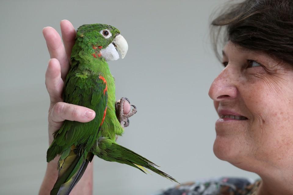 В Бразилии ветеринарам удалось провести удачную операцию, в результате которой попугай продолжит жить с искусственным клювом.