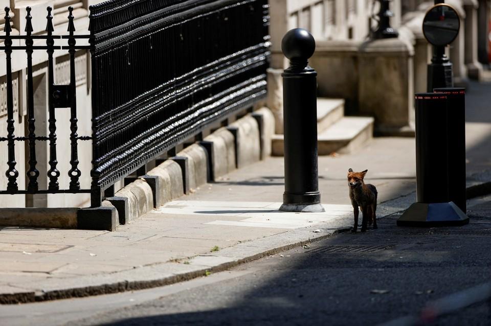 На Даунинг-стрит в Лондоне прохожие встретили лисицу.