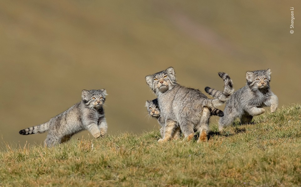 """Когда мама говорит Беги"" / Shanyuan Li (Китай) / Wildlife Photographer of the year"