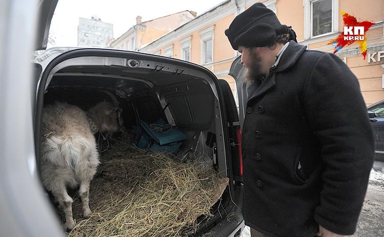Фермер лично привёз козу в фургончике с сеном.