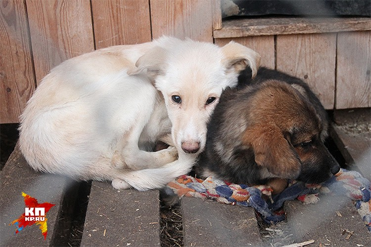 Спасенные от живодеров щенки в одном из приютов Нижнего Новгорода.