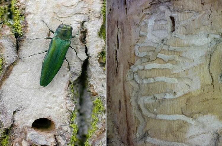 Ясеневая изумрудная узкотелая златка была обнаружена в лесах Подмосковья в 2014 году. ФОТО rcfh.ru