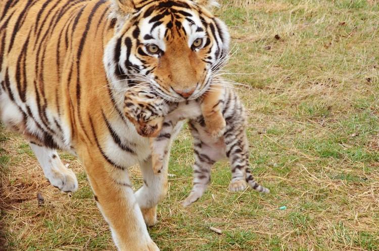 Тигрица осторожно хватает неслуха. Фото: Татьяна Алексагина.