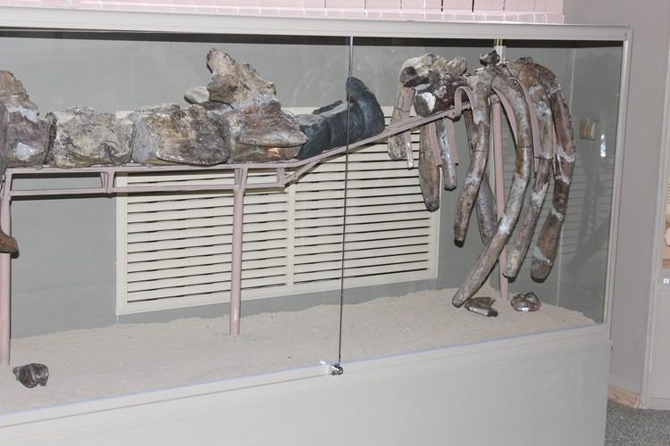 В музее-заповеднике Азова представили неполный скелет древнего кита