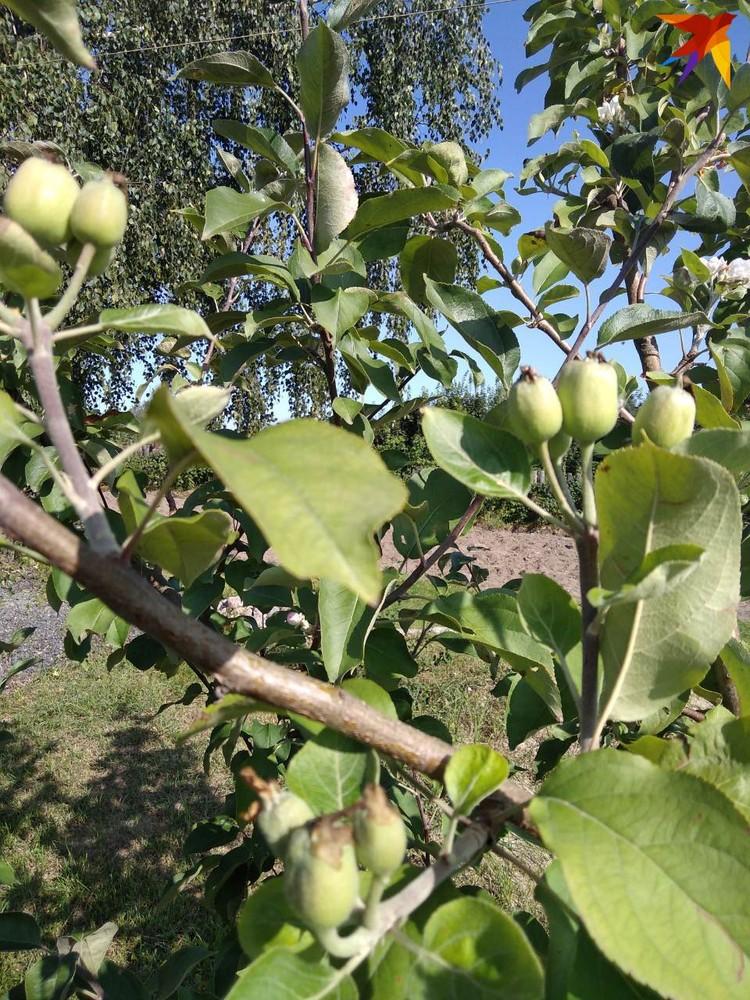 Вторые яблочки уже больше грецкого ореха. Фото: личный архив