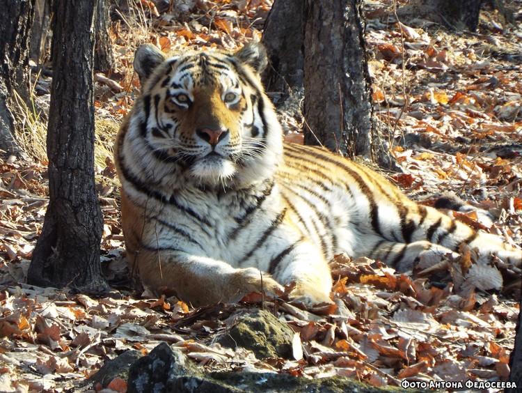 Тигр Амур ещё останется в Приморье как минимум до конца февраля. Фото: safaripark25.ru