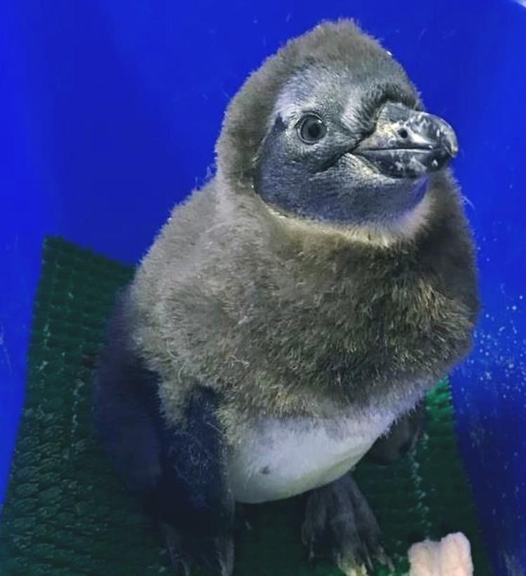 В Московском зоопарке похвастались птенцом пингвина. Фото пресс-службы