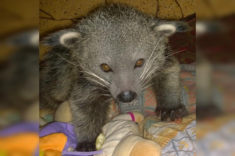 Кот-медведь, он же бинтуронг, получил свое прозвище за сходство со сразу двумя животными.