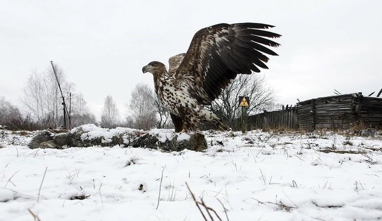 Белохвостый орел прекрасно чувствует себя в зоне отчуждения.