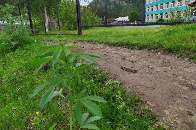 Конопля растет прямо за оградой школы в Чемале. Фото: читатель «КП».