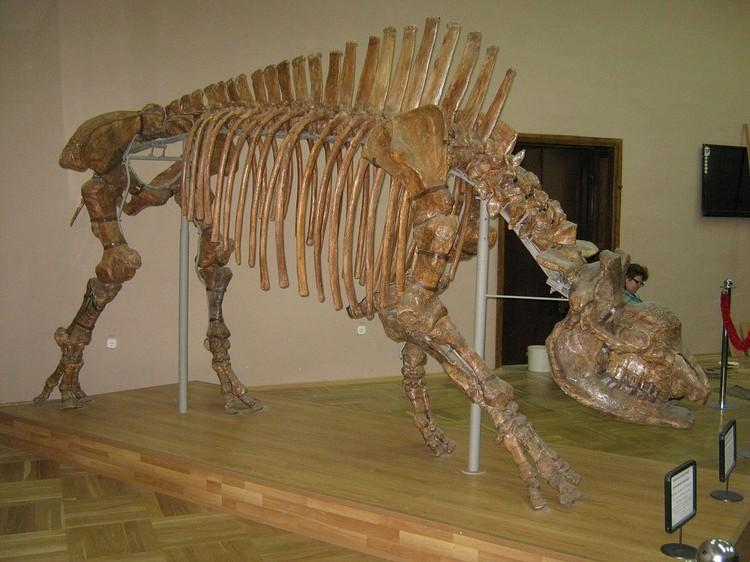 Скелет кавказского эластомерия в Азовском музее