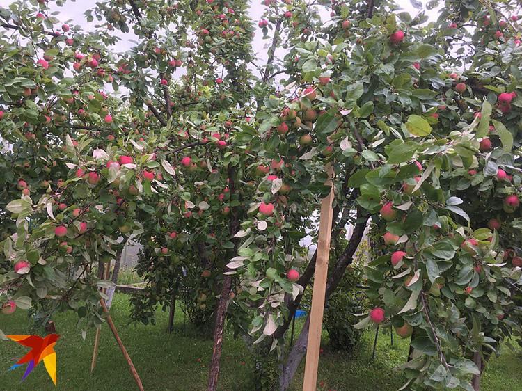 В этом году у автора на даче отличный урожай яблок