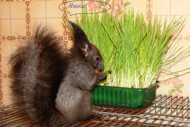 Черная проказница любит есть траву. Фото: личный архив.