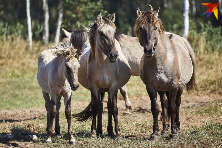 Нидерланды передали Беларуси 151 лошадь.
