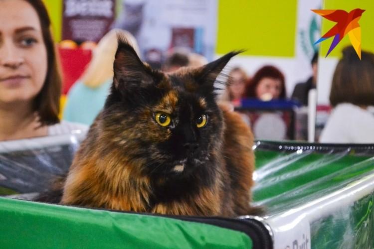 Кошка Нимерия.