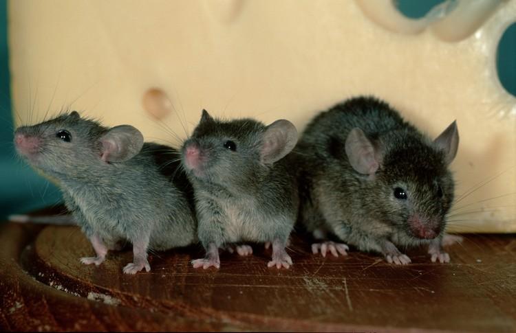 Оказывается мыши неутомимые болтуны.