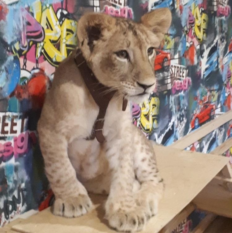 Кто-то пытается отбежать на безопасное расстояние, другие советуют научить львицу ходить в наморднике.