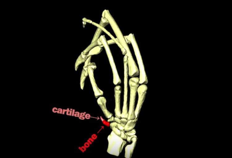 Шестьй палец на 3D-модели.