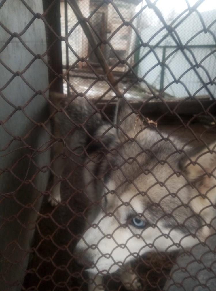 Теперь хаски и их детеныши поедут в приют в Красноярск. Фото: Дорога домой. Помощь животным.