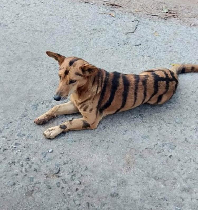 Можно даже не рычать по-тигриному. Обезьяны и так боятся.