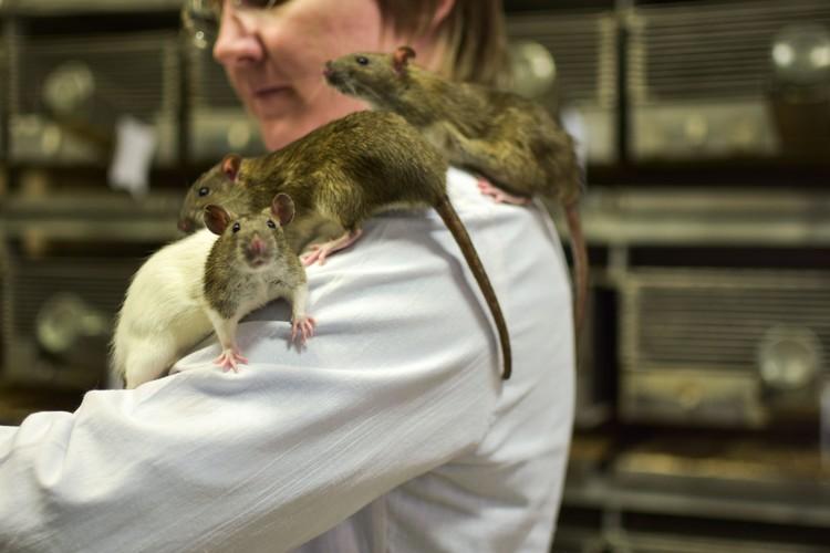 Ручные крысы спокойно сидят втроем на плече.