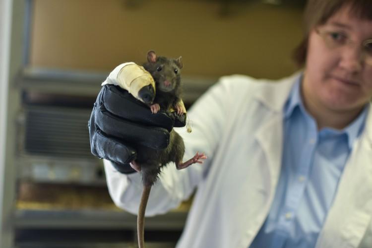 Агрессивная крыса может резко вырваться из рук, если ее неправильно взять.