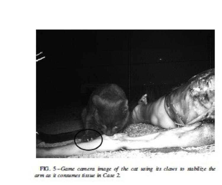 Иллюстрация из научной публикации: черный кот поедает руку мертвой старушки.