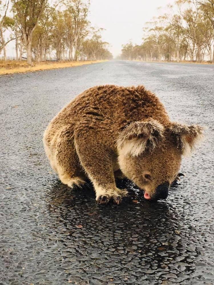 После страшных пожаров и засухи коалы рады любой влаге.